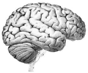 brain source Wikimedia