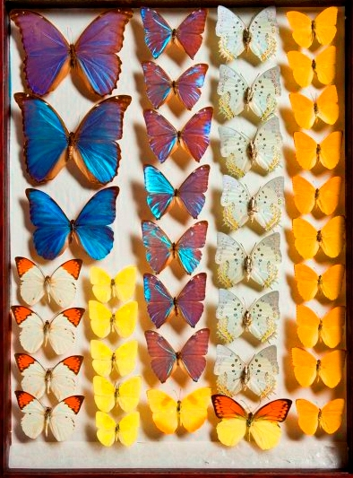 Collection of Butterflys. Curating a collection is a highly specialized line of museum work. Photo: Stuart Humphries. Source: Australian Museum.