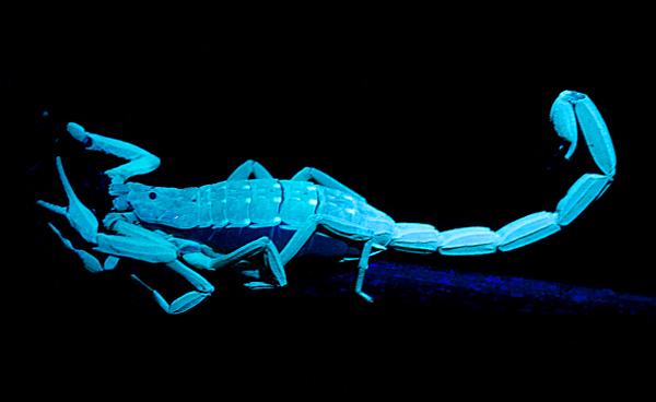 9c86f0dfd5c5 Is it true that scorpions glow in the dark